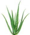 Aloe Vera für schonende Anwendung
